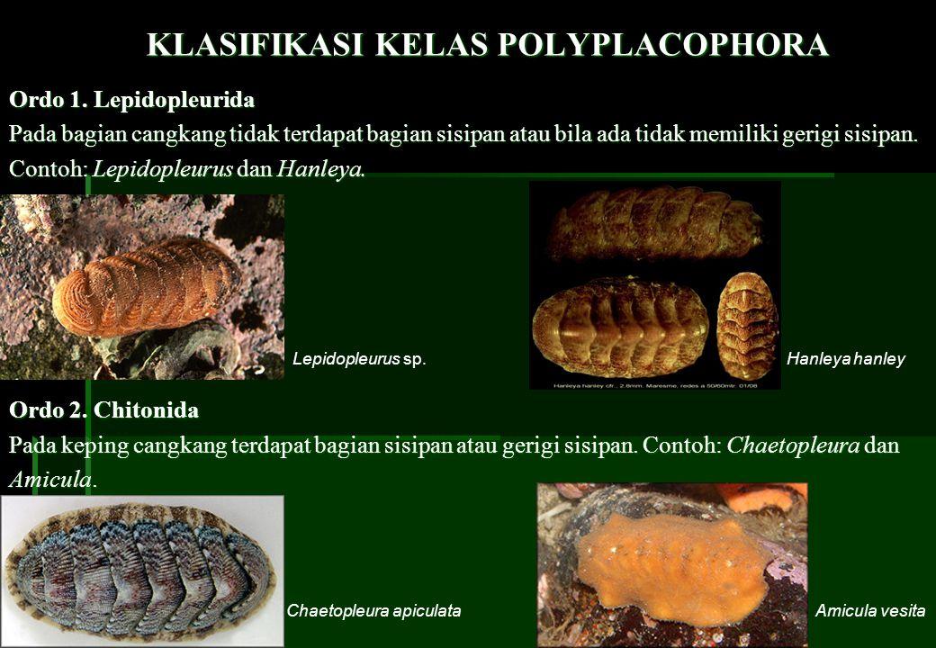KLASIFIKASI KELAS POLYPLACOPHORA Ordo 1. Lepidopleurida Pada bagian cangkang tidak terdapat bagian sisipan atau bila ada tidak memiliki gerigi sisipan