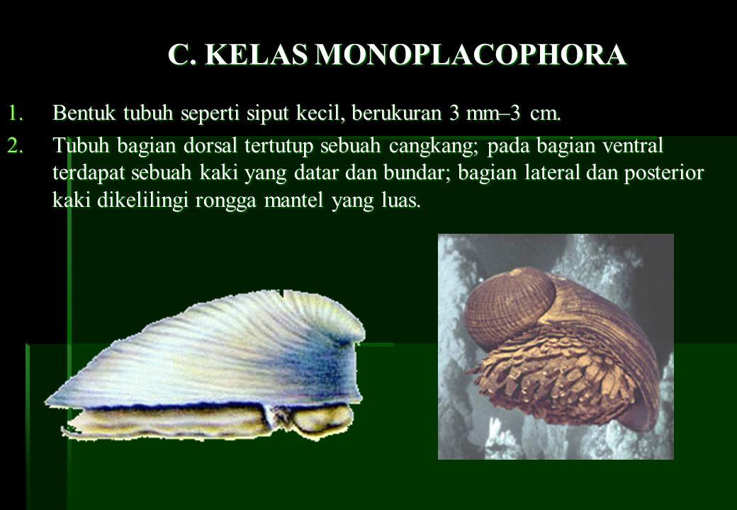 C. KELAS MONOPLACOPHORA 1.Bentuk tubuh seperti siput kecil, berukuran 3 mm–3 cm. 2.Tubuh bagian dorsal tertutup sebuah cangkang; pada bagian ventral t
