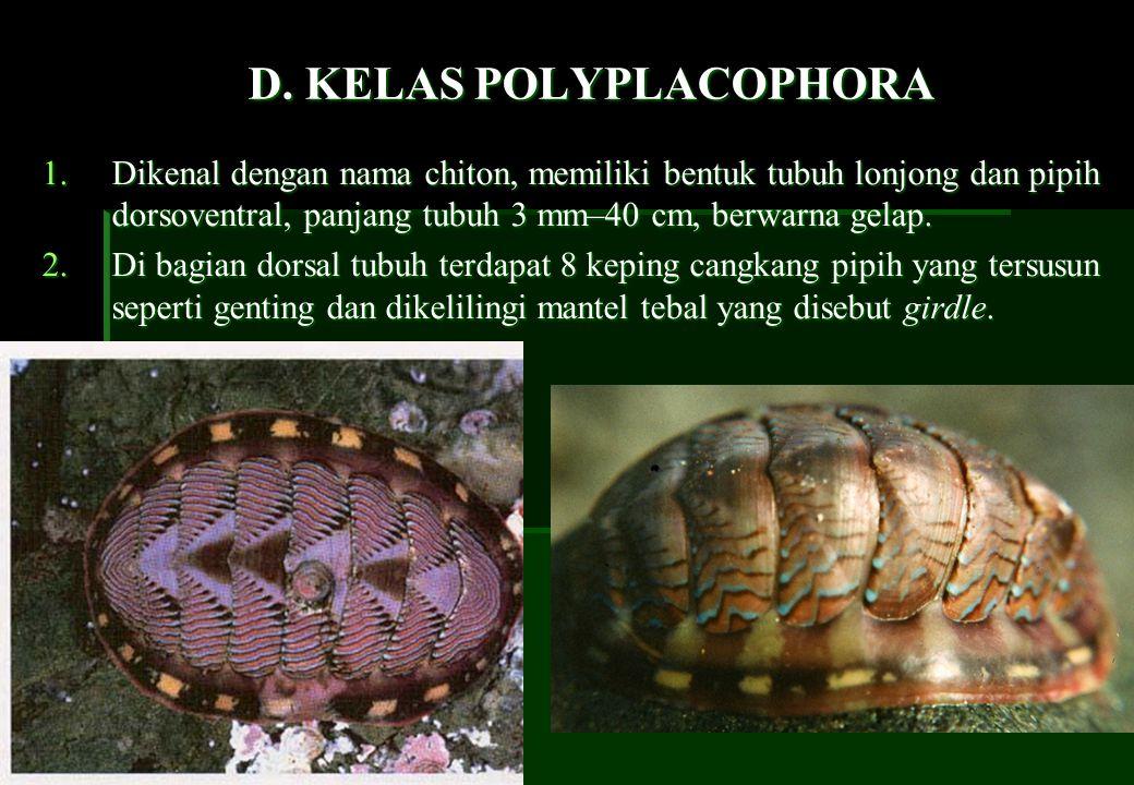 D. KELAS POLYPLACOPHORA 1.Dikenal dengan nama chiton, memiliki bentuk tubuh lonjong dan pipih dorsoventral, panjang tubuh 3 mm–40 cm, berwarna gelap.