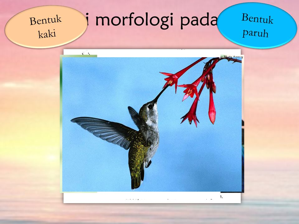 Adaptasi morfologi pada hewan Bentuk kaki Bentuk paruh