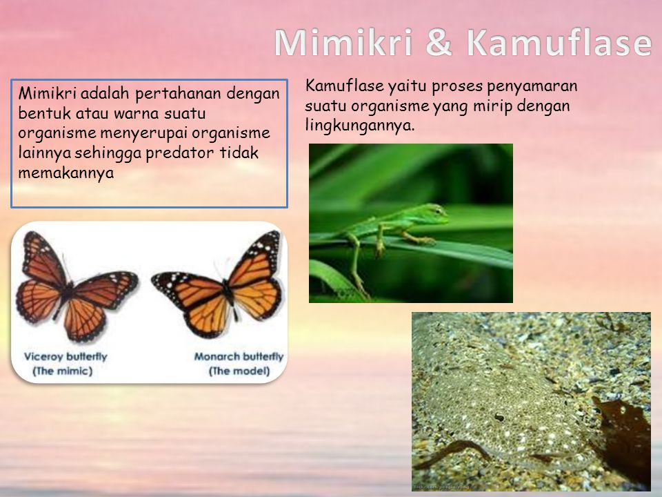 Mimikri adalah pertahanan dengan bentuk atau warna suatu organisme menyerupai organisme lainnya sehingga predator tidak memakannya Kamuflase yaitu proses penyamaran suatu organisme yang mirip dengan lingkungannya.