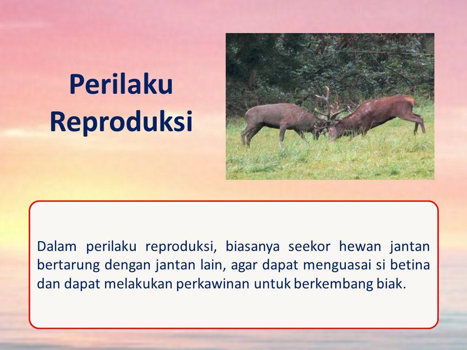 Perilaku Reproduksi Dalam perilaku reproduksi, biasanya seekor hewan jantan bertarung dengan jantan lain, agar dapat menguasai si betina dan dapat melakukan perkawinan untuk berkembang biak.