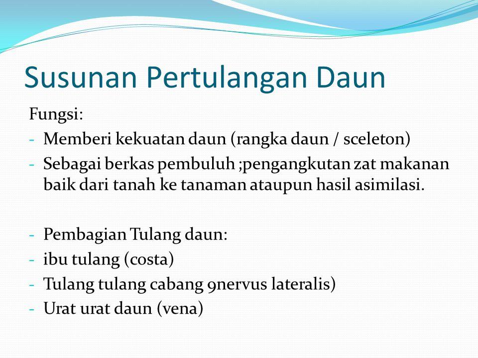 Susunan Pertulangan Daun Fungsi: - Memberi kekuatan daun (rangka daun / sceleton) - Sebagai berkas pembuluh ;pengangkutan zat makanan baik dari tanah