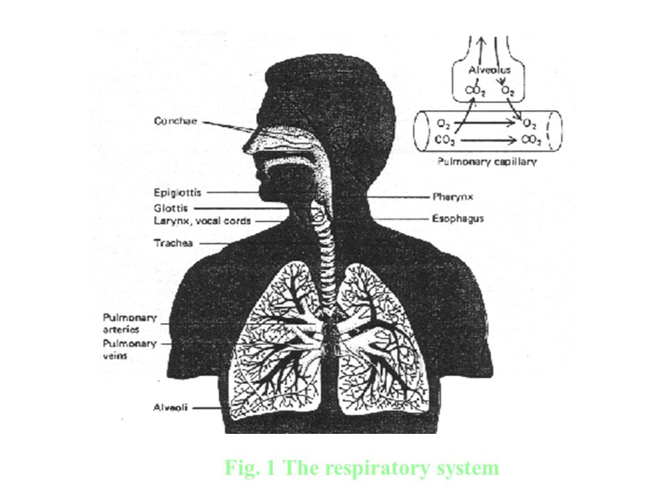 Fig. 1 Fig. 1 The respiratory system