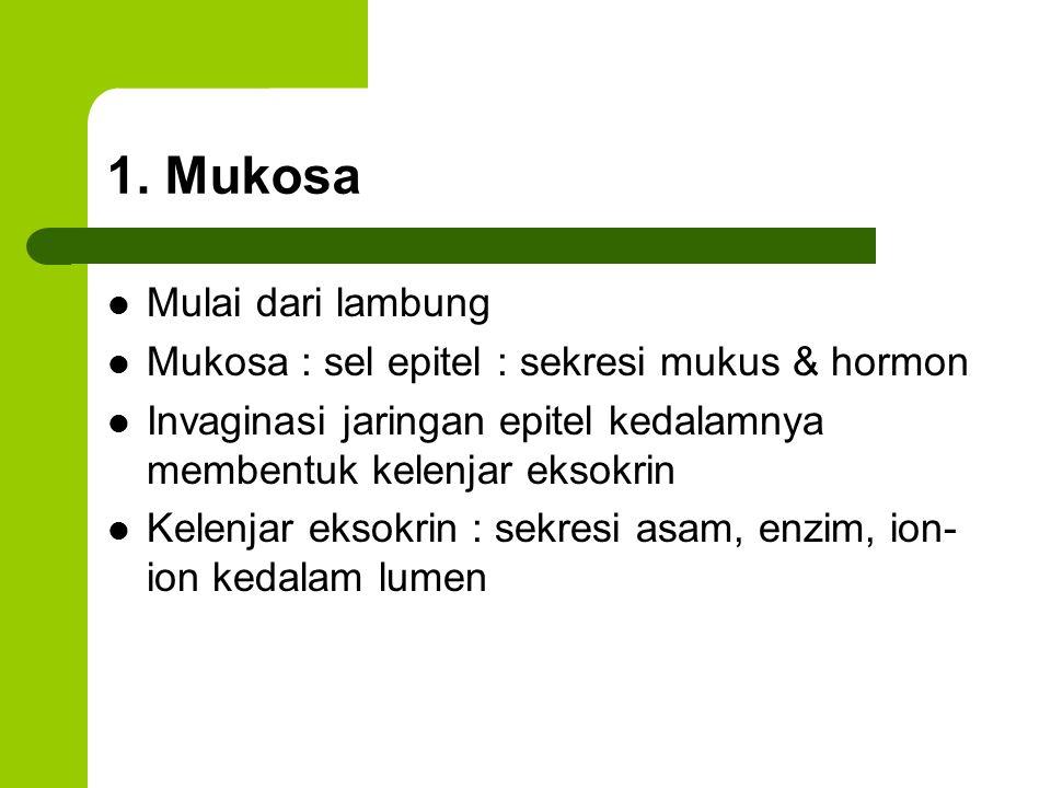 1. Mukosa Mulai dari lambung Mukosa : sel epitel : sekresi mukus & hormon Invaginasi jaringan epitel kedalamnya membentuk kelenjar eksokrin Kelenjar e
