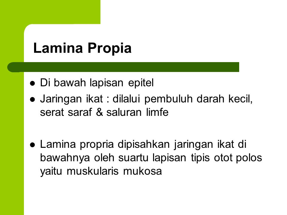 Lamina Propia Di bawah lapisan epitel Jaringan ikat : dilalui pembuluh darah kecil, serat saraf & saluran limfe Lamina propria dipisahkan jaringan ika