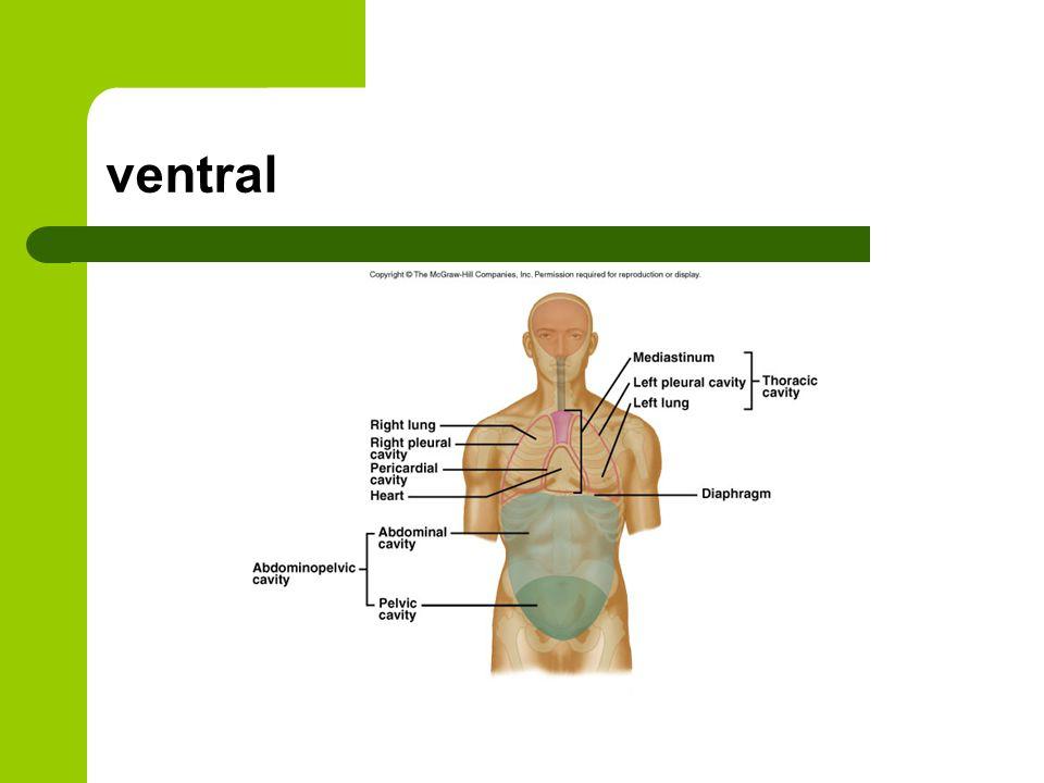 ventral