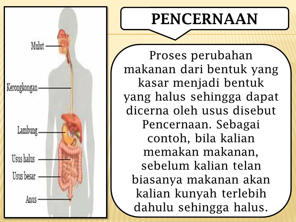 PENCERNAAN Proses perubahan makanan dari bentuk yang kasar menjadi bentuk yang halus sehingga dapat dicerna oleh usus disebut Pencernaan.