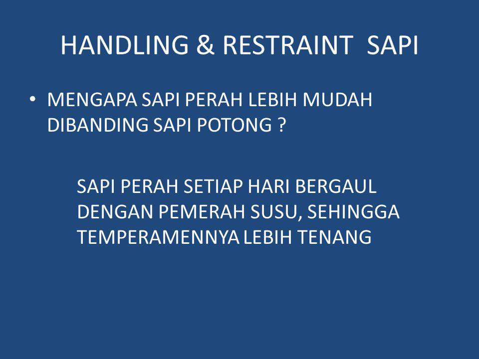 HANDLING & RESTRAINT SAPI MENGAPA SAPI PERAH LEBIH MUDAH DIBANDING SAPI POTONG .
