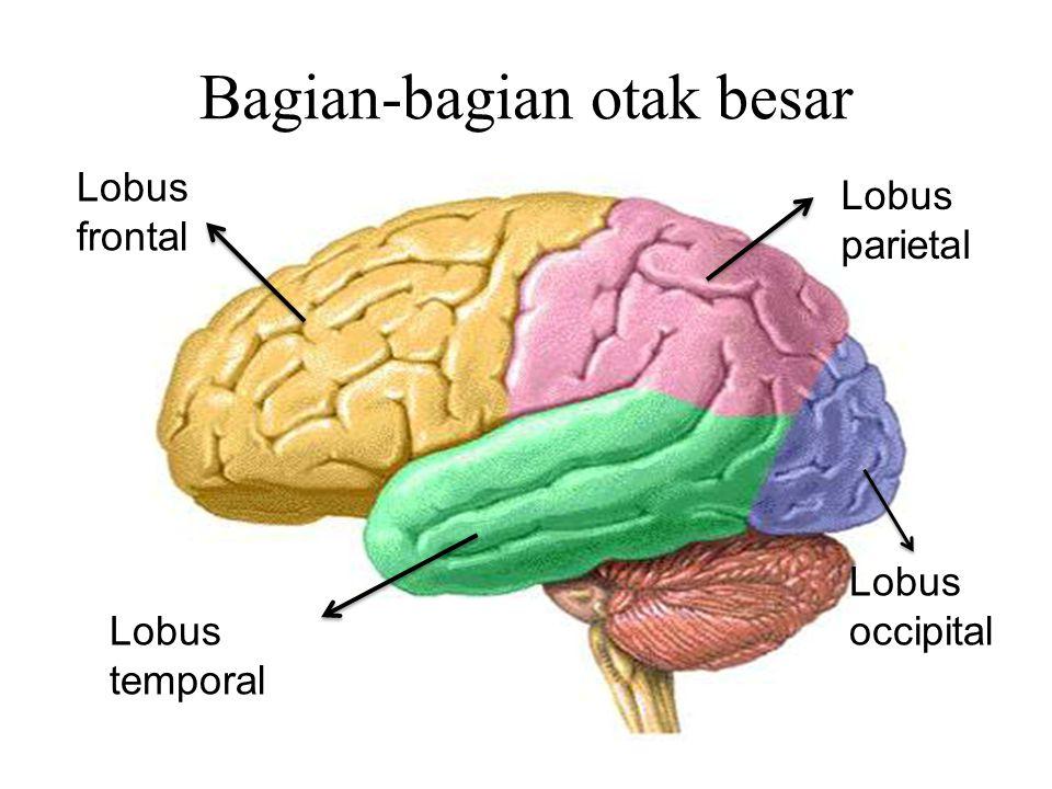Bagian-bagian otak besar Lobus frontal Lobus temporal Lobus occipital Lobus parietal