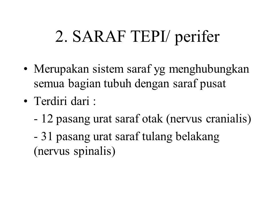 2. SARAF TEPI/ perifer Merupakan sistem saraf yg menghubungkan semua bagian tubuh dengan saraf pusat Terdiri dari : - 12 pasang urat saraf otak (nervu