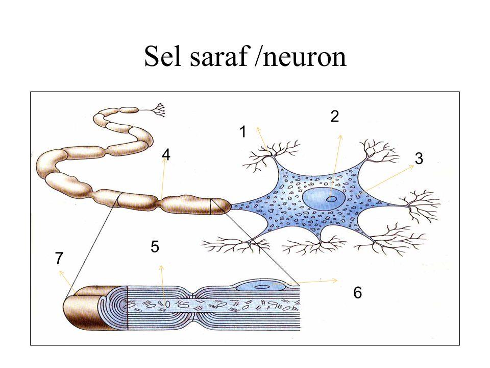 MEKANISME GERAK 1.BIASA : rangsang-reseptor-sensorik-otak-motorik- efektor 2.