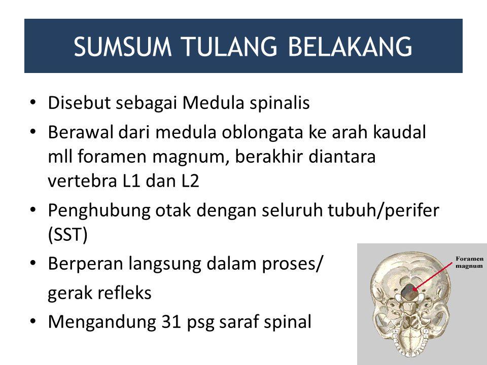 SUMSUM TULANG BELAKANG Disebut sebagai Medula spinalis Berawal dari medula oblongata ke arah kaudal mll foramen magnum, berakhir diantara vertebra L1