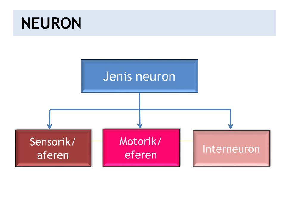 Jenis neuron Sensorik/ aferen Sensorik/ aferen Motorik/ eferen Motorik/ eferen Interneuron NEURON