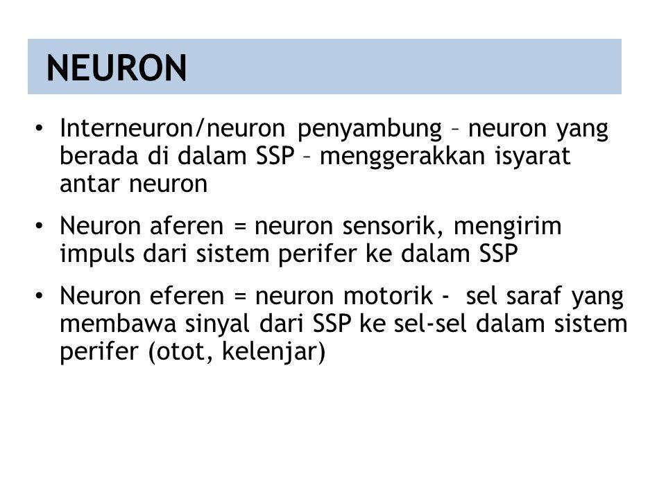 Interneuron/neuron penyambung – neuron yang berada di dalam SSP – menggerakkan isyarat antar neuron Neuron aferen = neuron sensorik, mengirim impuls d