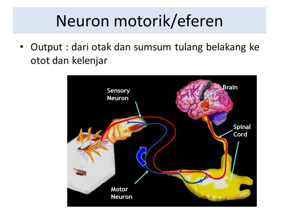 Spinal Cord Brain Sensory Neuron Motor Neuron Neuron motorik/eferen Output : d Output : dari otak dan sumsum tulang belakang ke otot dan kelenjar