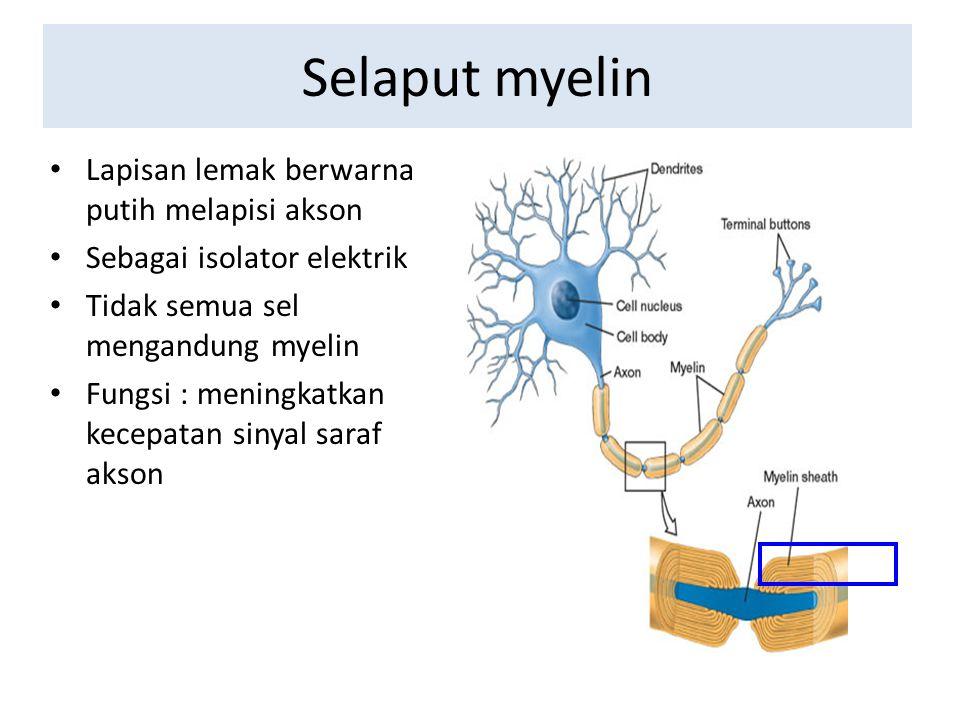 Selaput myelin Lapisan lemak berwarna putih melapisi akson Sebagai isolator elektrik Tidak semua sel mengandung myelin Fungsi : meningkatkan kecepatan
