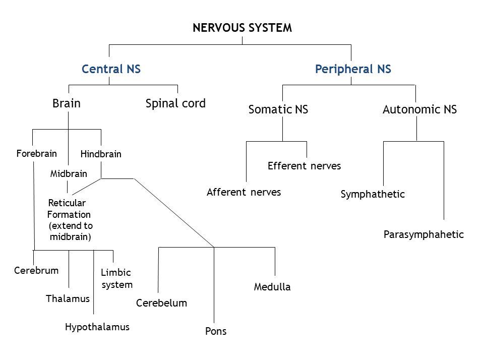NERVOUS SYSTEM Central NSPeripheral NS BrainSpinal cord Forebrain Midbrain Hindbrain Cerebrum Limbic system Thalamus Hypothalamus Reticular Formation
