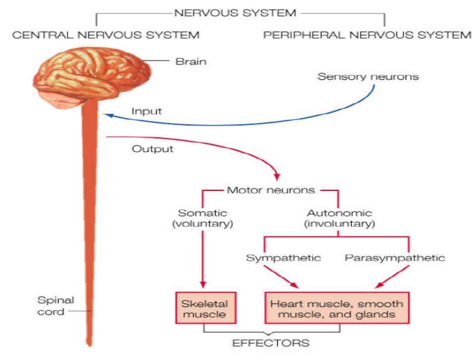 Interneurons Interneurons membawa informasi antara sel2 saraf, hanya ditemukan di otak dan sumsum belakang