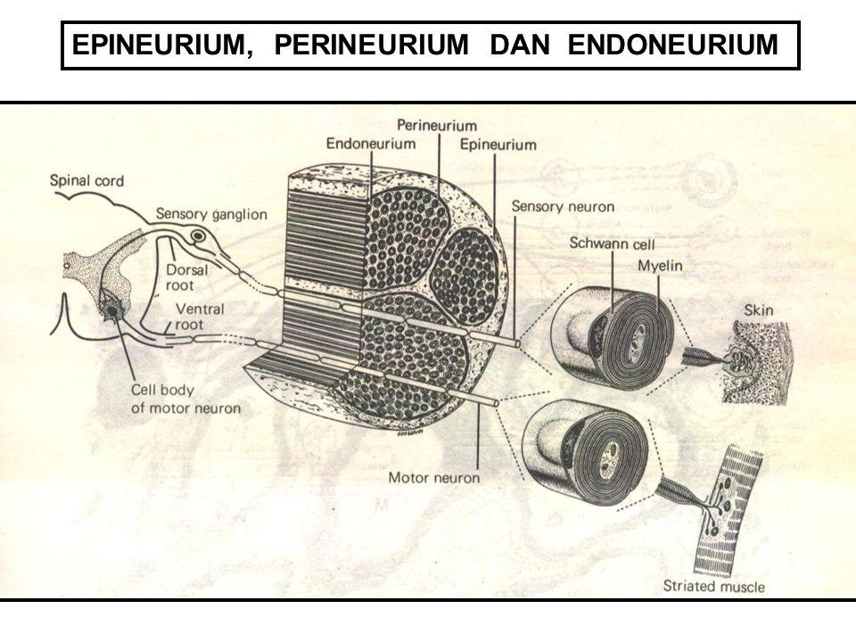 EPINEURIUM, PERINEURIUM DAN ENDONEURIUM