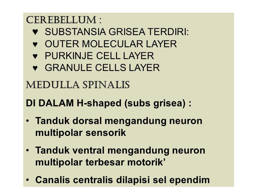 CEREBELLUM : ♥ SUBSTANSIA GRISEA TERDIRI: ♥ OUTER MOLECULAR LAYER ♥ PURKINJE CELL LAYER ♥ GRANULE CELLS LAYER MEDULLA SPINALIS DI DALAM H-shaped (subs