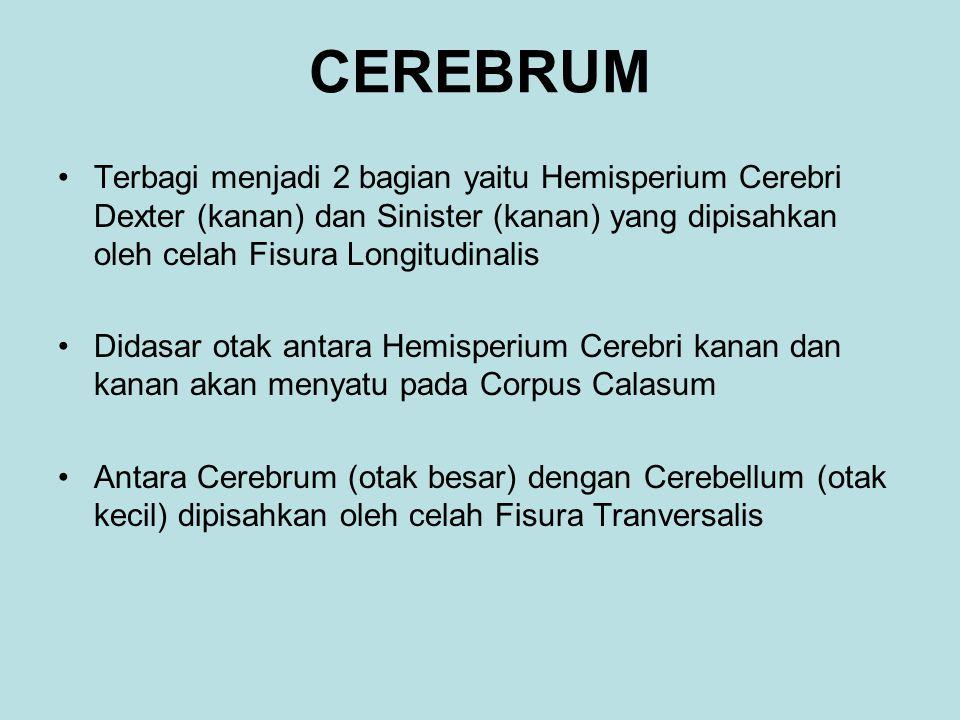 CEREBRUM Terbagi menjadi 2 bagian yaitu Hemisperium Cerebri Dexter (kanan) dan Sinister (kanan) yang dipisahkan oleh celah Fisura Longitudinalis Didasar otak antara Hemisperium Cerebri kanan dan kanan akan menyatu pada Corpus Calasum Antara Cerebrum (otak besar) dengan Cerebellum (otak kecil) dipisahkan oleh celah Fisura Tranversalis