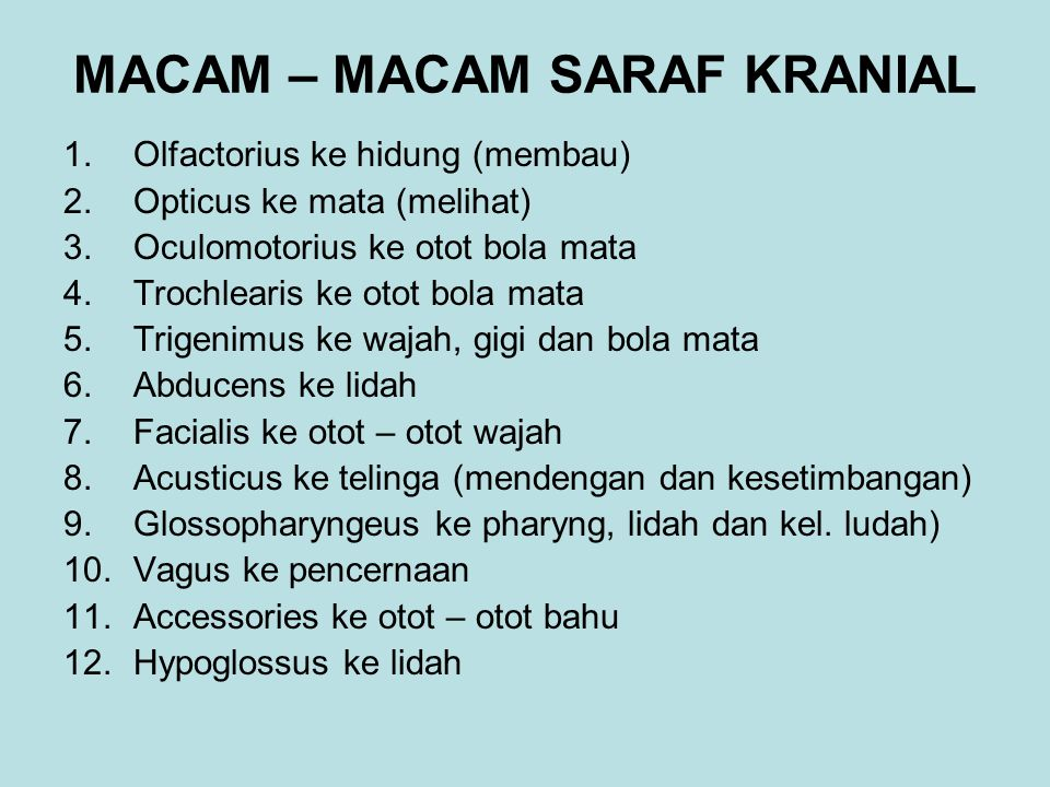 MACAM – MACAM SARAF KRANIAL 1.Olfactorius ke hidung (membau) 2.Opticus ke mata (melihat) 3.Oculomotorius ke otot bola mata 4.Trochlearis ke otot bola