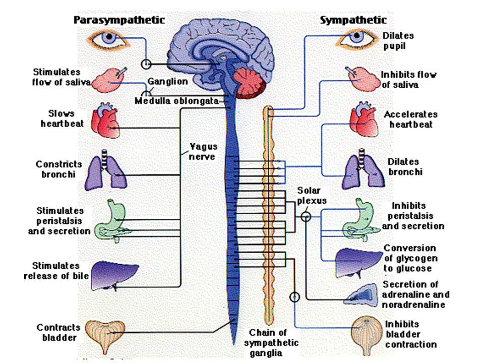 BATANG OTAK Terdiri dari : - otak tengah - Pon's varolii - Medulla oblongata Mengapa dokter bisa menentukan kematian seseorang dengan cara memberi sinar pada matanya?