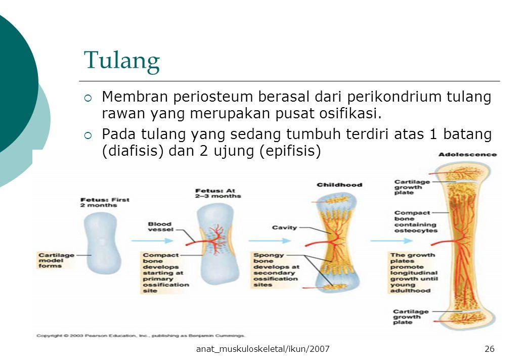 anat_muskuloskeletal/ikun/200726 Tulang  Membran periosteum berasal dari perikondrium tulang rawan yang merupakan pusat osifikasi.  Pada tulang yang