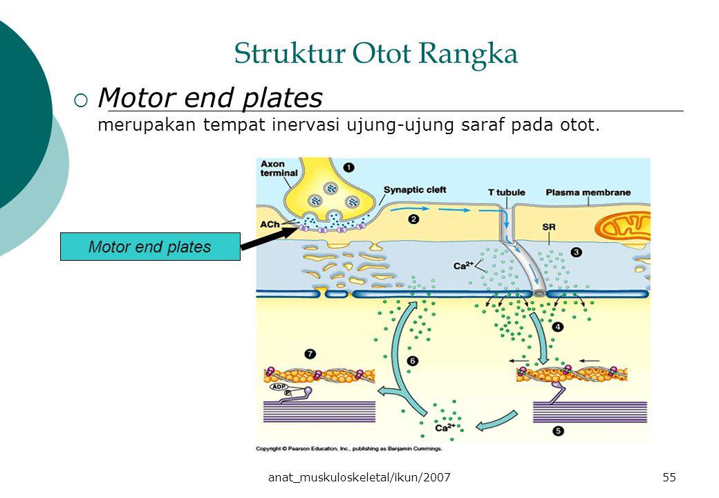 anat_muskuloskeletal/ikun/200755 Struktur Otot Rangka  Motor end plates merupakan tempat inervasi ujung-ujung saraf pada otot. Motor end plates