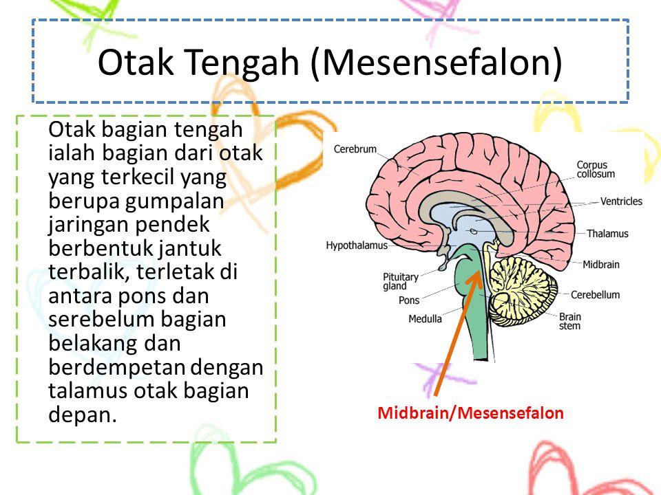 Otak Tengah (Mesensefalon) Otak bagian tengah ialah bagian dari otak yang terkecil yang berupa gumpalan jaringan pendek berbentuk jantuk terbalik, ter