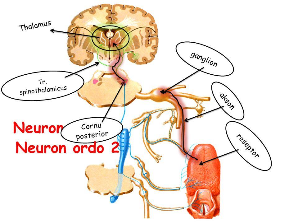 reseptor ganglion Neuron ordo 1 akson Cornu posterior Tr. spinothalamicus Thalamus Neuron ordo 2
