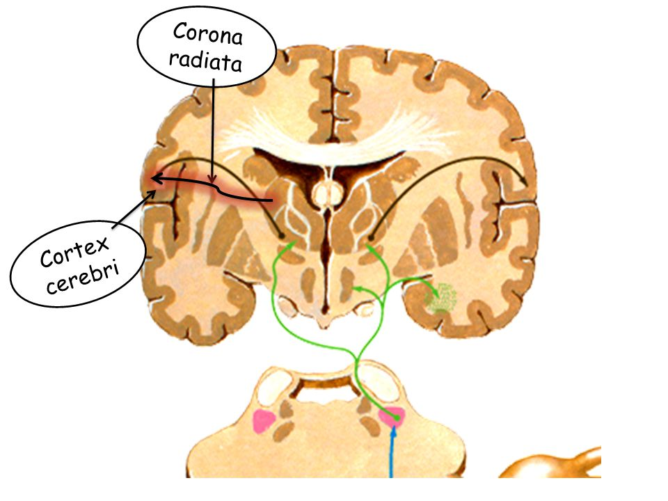 Cortex cerebri Corona radiata
