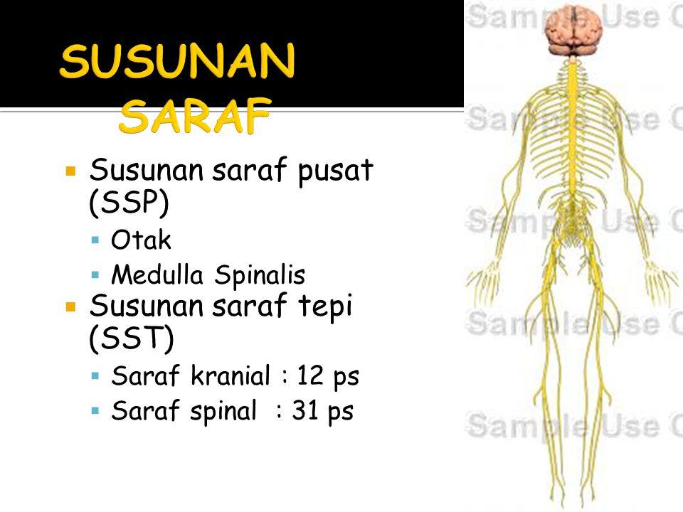  Susunan saraf pusat (SSP)  Otak  Medulla Spinalis  Susunan saraf tepi (SST)  Saraf kranial : 12 ps  Saraf spinal : 31 ps