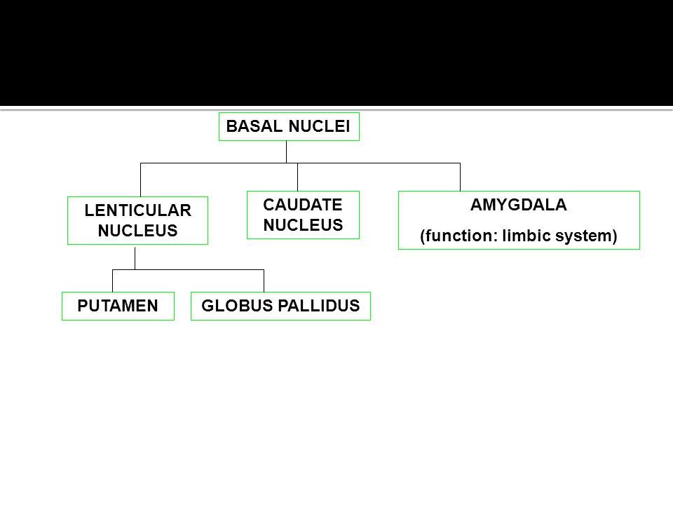 BASAL NUCLEI LENTICULAR NUCLEUS CAUDATE NUCLEUS AMYGDALA (function: limbic system) PUTAMENGLOBUS PALLIDUS