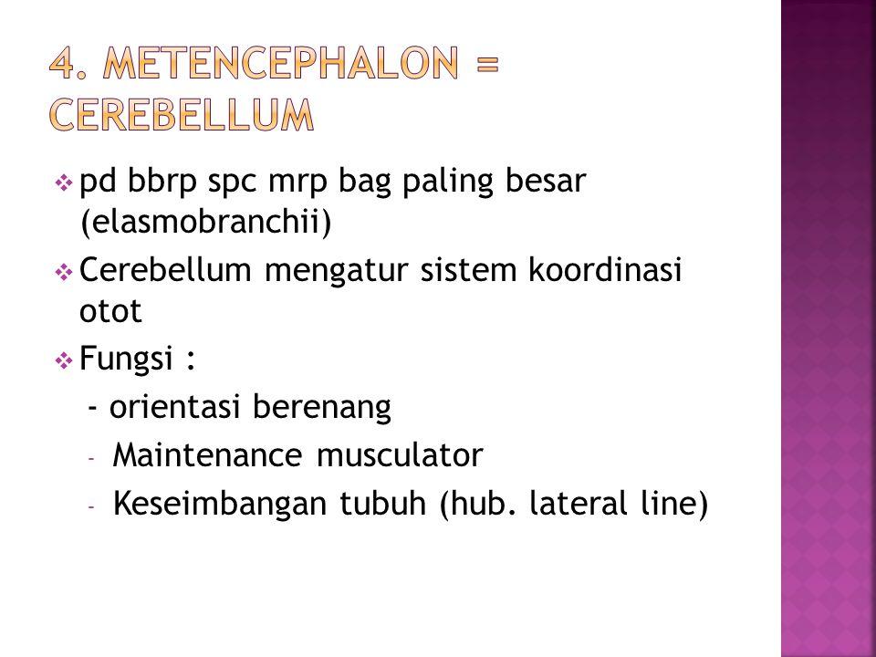  pd bbrp spc mrp bag paling besar (elasmobranchii)  Cerebellum mengatur sistem koordinasi otot  Fungsi : - orientasi berenang - Maintenance musculator - Keseimbangan tubuh (hub.