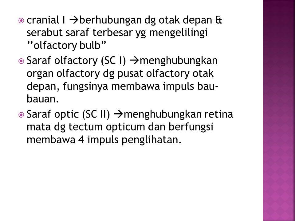  cranial I  berhubungan dg otak depan & serabut saraf terbesar yg mengelilingi ''olfactory bulb  Saraf olfactory (SC I)  menghubungkan organ olfactory dg pusat olfactory otak depan, fungsinya membawa impuls bau- bauan.