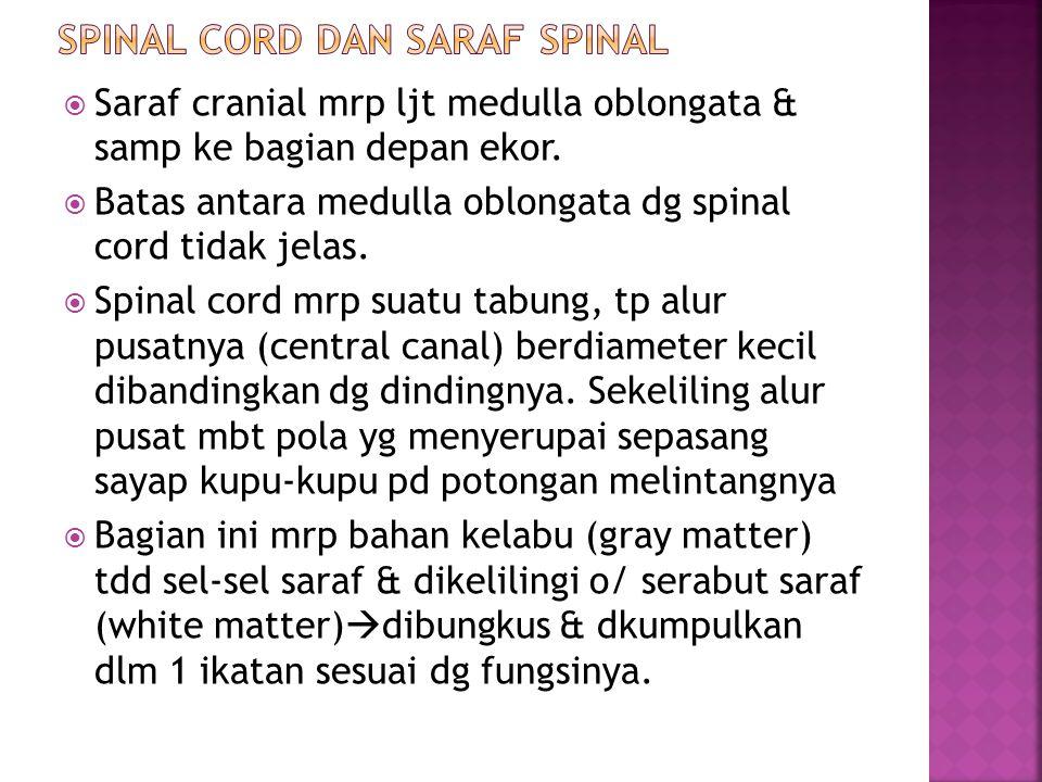  Saraf cranial mrp ljt medulla oblongata & samp ke bagian depan ekor.  Batas antara medulla oblongata dg spinal cord tidak jelas.  Spinal cord mrp