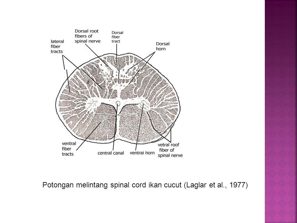 Potongan melintang spinal cord ikan cucut (Laglar et al., 1977)
