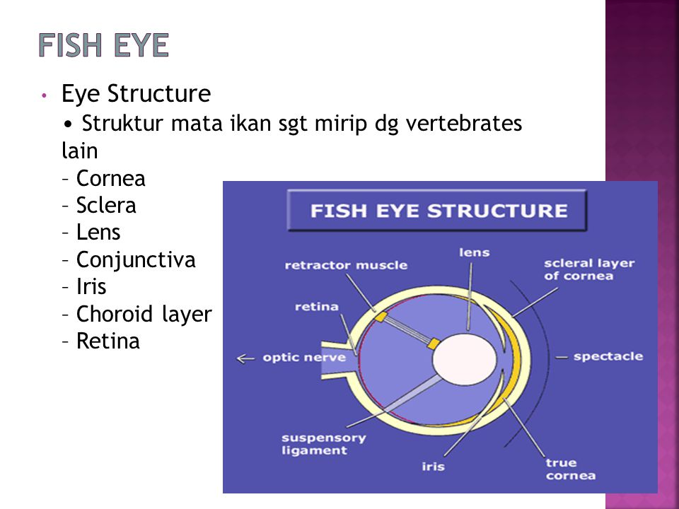 Eye Structure Struktur mata ikan sgt mirip dg vertebrates lain – Cornea – Sclera – Lens – Conjunctiva – Iris – Choroid layer – Retina