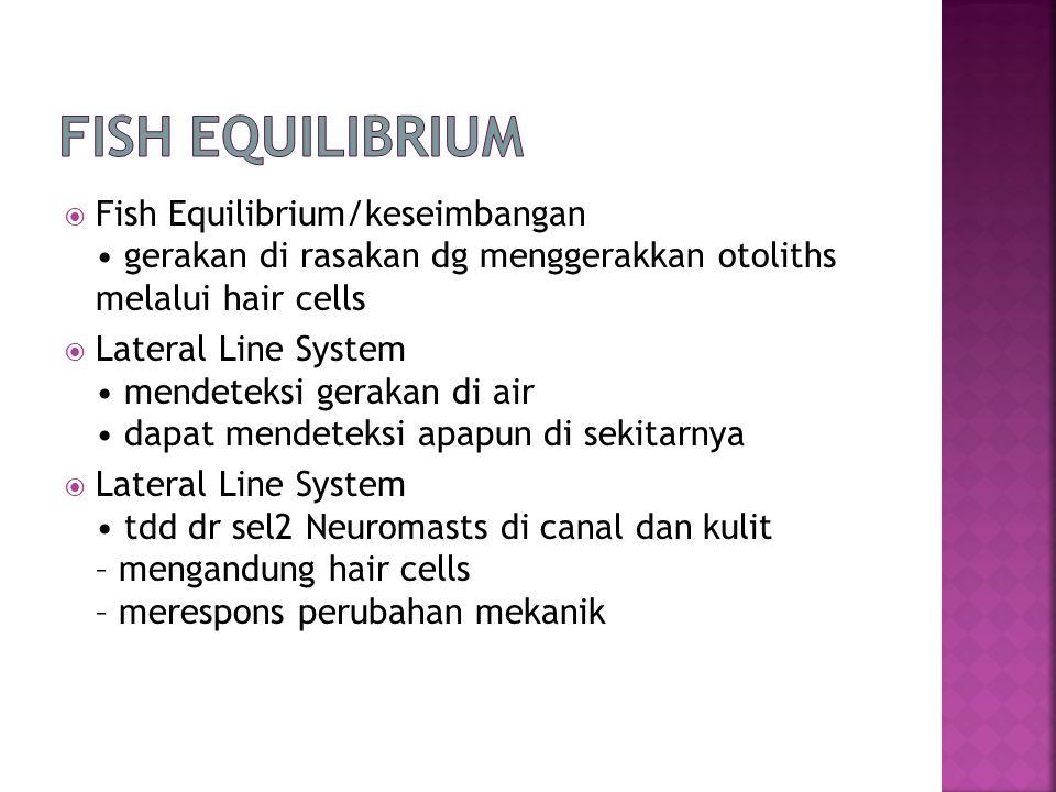  Fish Equilibrium/keseimbangan gerakan di rasakan dg menggerakkan otoliths melalui hair cells  Lateral Line System mendeteksi gerakan di air dapat mendeteksi apapun di sekitarnya  Lateral Line System tdd dr sel2 Neuromasts di canal dan kulit – mengandung hair cells – merespons perubahan mekanik