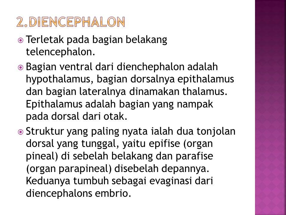  Terletak pada bagian belakang telencephalon.  Bagian ventral dari dienchephalon adalah hypothalamus, bagian dorsalnya epithalamus dan bagian latera