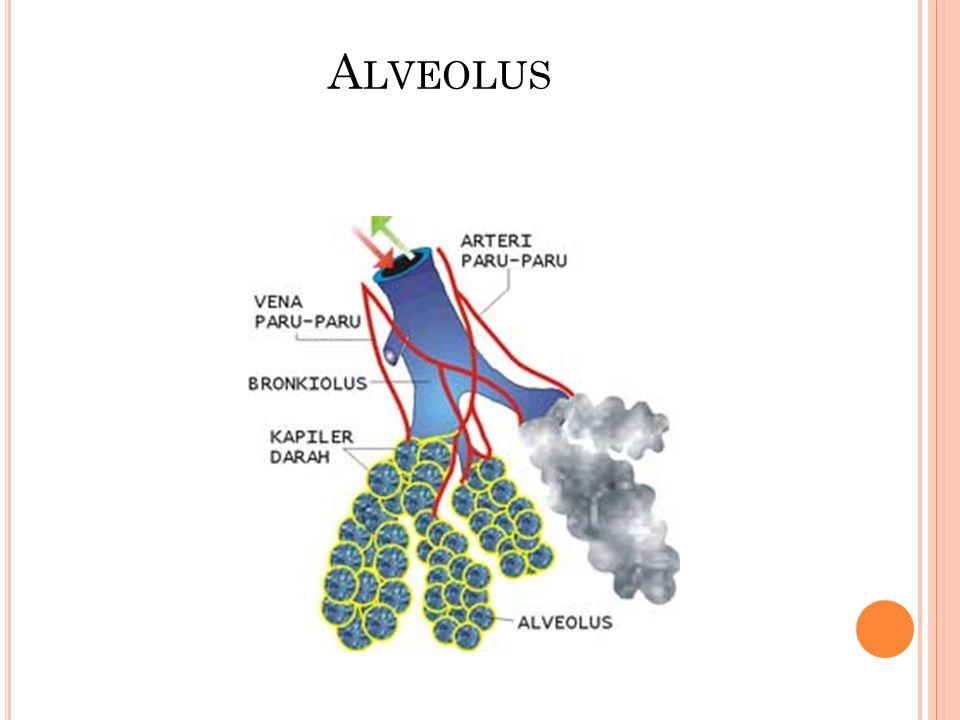 PARU-PARU Larink Trakea Bronkus Bronkeolus Alveolus