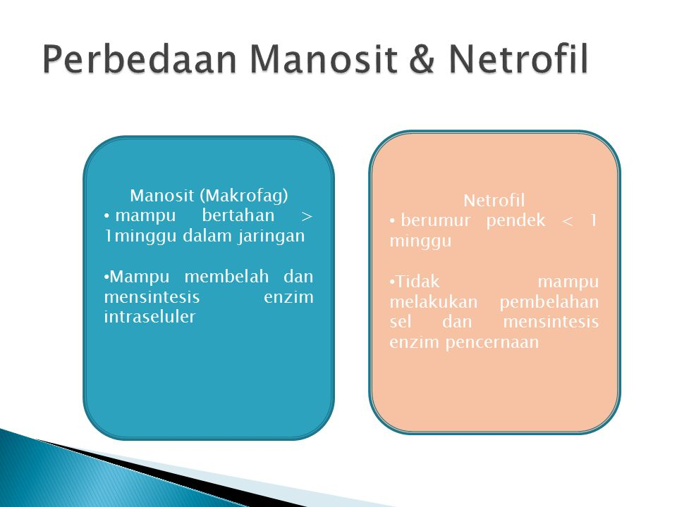 Manosit (Makrofag) mampu bertahan > 1minggu dalam jaringan Mampu membelah dan mensintesis enzim intraseluler Netrofil berumur pendek < 1 minggu Tidak mampu melakukan pembelahan sel dan mensintesis enzim pencernaan