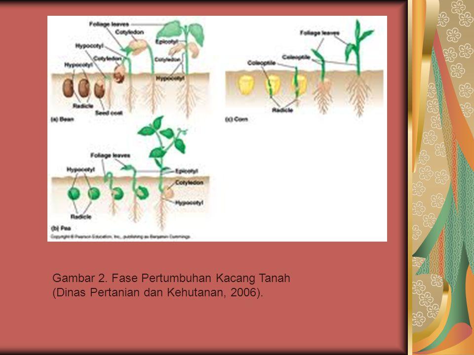 Fase Vegetatif -Fase vegetatif pada tanaman kacang tanah dimulai sejak perkecambahan hingga awal pembungaan yang berkisar antara 26 hingga 31 hari setelah tanam dan selebihnya adalah fase reproduktif.