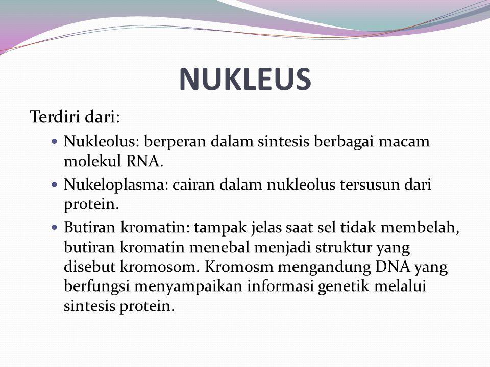 NUKLEUS Terdiri dari: Nukleolus: berperan dalam sintesis berbagai macam molekul RNA. Nukeloplasma: cairan dalam nukleolus tersusun dari protein. Butir
