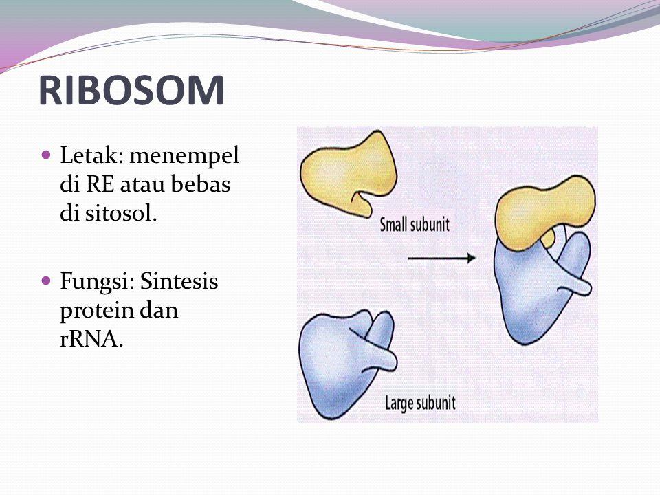 RIBOSOM Letak: menempel di RE atau bebas di sitosol. Fungsi: Sintesis protein dan rRNA.