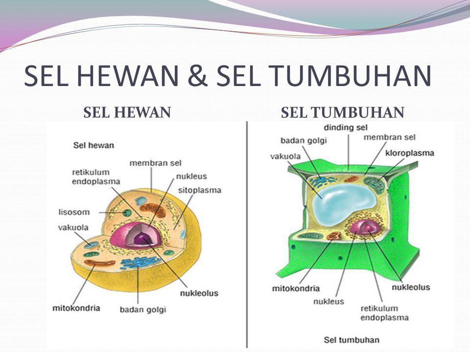 SENTRIOL Terdapat pada sel hewan, sel tumbuhan tingkat rendah, mikroorganisme.