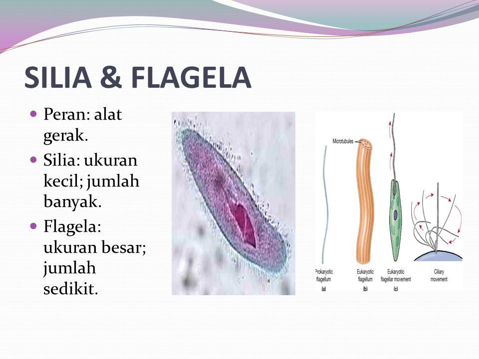 SILIA & FLAGELA Peran: alat gerak. Silia: ukuran kecil; jumlah banyak. Flagela: ukuran besar; jumlah sedikit.