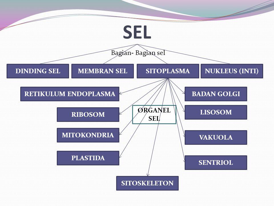 ORGANEL SEL MEMBRAN SELNUKLEUS (INTI)SITOPLASMA RETIKULUM ENDOPLASMABADAN GOLGI RIBOSOM LISOSOM MITOKONDRIA PLASTIDA VAKUOLA SENTRIOL SITOSKELETON DIN